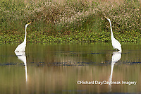 00688-02518 Great Egrets (Ardea alba) in wetland, Marion Co., IL
