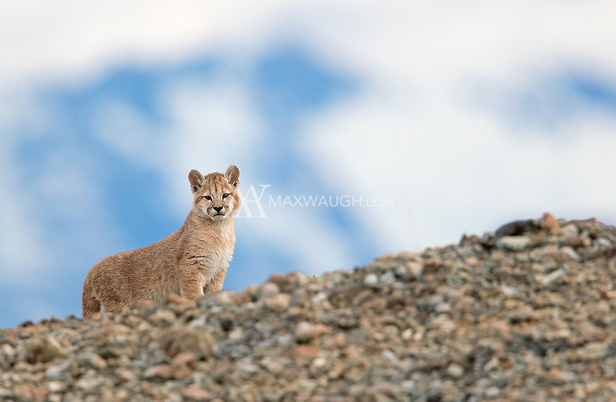 One of three puma cubs photographed in southern Chile.  We were fortunate to see two litters of triplets during this trip.