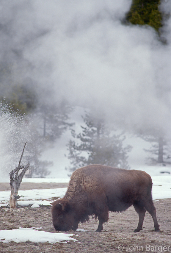 35-M8-BS-015    BISON (Bison bison) and erupting geyser in winter, Upper Geyser Basin,Yellowstone National Park, Wyoming, USA.