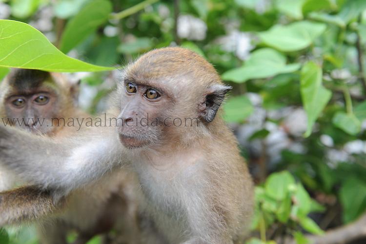 Monkey, Borneo Monkey_Borneo