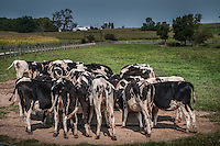 Cows gather at a feeding trough in midday heat.