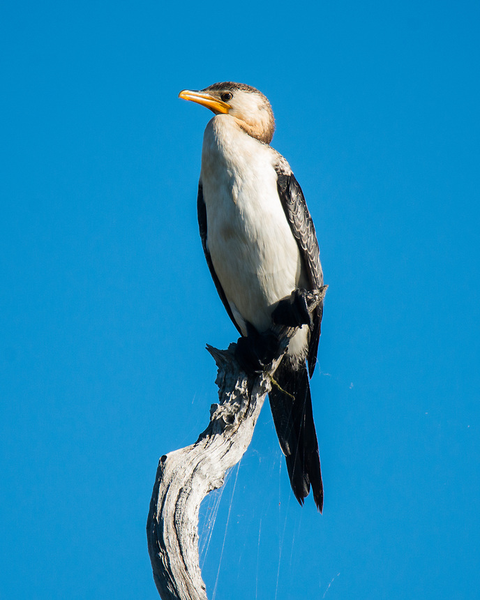 Little Pied Cormorant, Ballina, New South Wales.