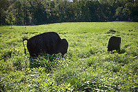 Buffalo sculpture silhouette in prairie meadow, Shaw Nature Preserve Missouri Botanic Garden