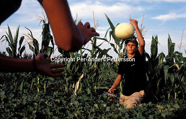 ORANIA, SOUTH AFRICA - JANUARY 15: Morne Burger, a young white farm worker picks melons with his colleagues in a field in Orania, an all white Afrikaner community on January 15, 2003 in Orania, in the Northern Cape province, South Africa. He came to Orania to do hard labor, for a while to sort out his life. Morne spent three months in youth jail after being convicted of hitting a black man with a baseball bat and dragging him after a pick-up truck, all this according to himself. Many young men and some girls from all over SA comes to Orania to work hard for a while. They make about 150 Euros a month working 6-7 days a week. The village was founded in 1991 and bought by descendants of Hendrik Verwoerd, the architect of Apartheid. It?s run as a private town only accepting whites. About 600 Afrikaners lives in the village where they celebrate their culture and keep traditions alive. They have chosen not to live in today?s South Africa; a country ran by a black government since 1994..(Photo: Per-Anders Pettersson/ iAfrika Photos.......