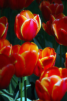Red tulips in a park in Warsaw, Poland, Europe