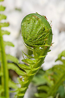 Matteuccia struthiopteris Fern unfurling in spring in front of Sanguinaria canadensis in bloom, Ostrich Fern
