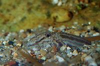 Steinbeißer, Dorngrundel, Steinbeisser, im Untergrund eingegraben, Cobitis taenia, pined loach, spotted weatherfish