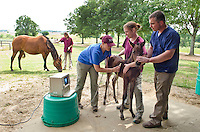 Dr. Heath King with Class of 2014 students Annie Strohm, Janet Koester (background with mare) and Anna Lott (blue scrub top) ultrasound lungs of foal.