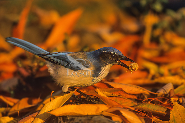 California scrub jay or Western Scrub Jay (Aphelocoma californica) caching peanut among fall leaves,  Pacific Northwest.  Fall.