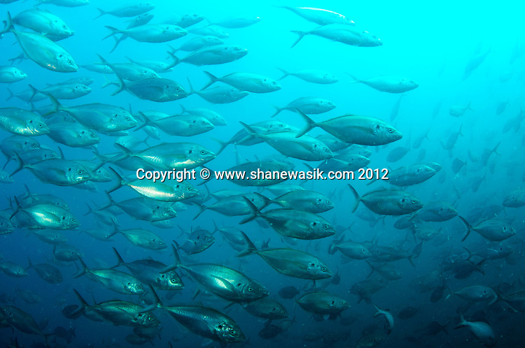 During summer conditions fish life at Astrolabe can be spectacular. This school of Trevally (Pseudocaranx dentex) made multiple  passes round me.