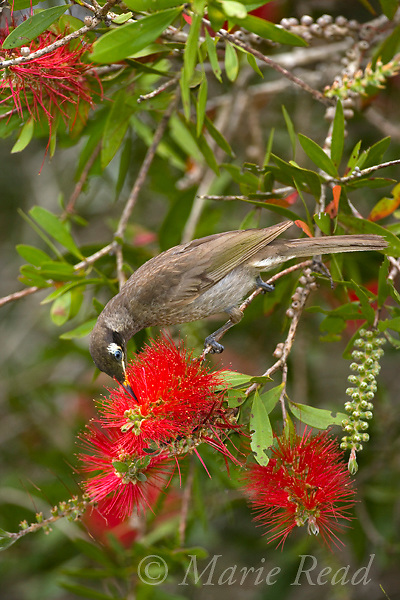 Bridled Honeyeater (Lichenostomus frenatus) feeding on nectar from bottlebrush (Callistemon sp.) flowers, Atherton Tableland, Queensland, Australia.
