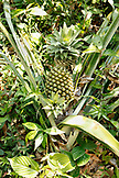 BELIZE, Punta Gorda, Toledo District, a pineapple grows in the jungle in the Maya village of San Jose