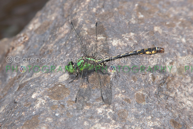 Maine Snaketail (Ophiogomphus mainensis) Dragonfly - Male perching on a rock, Ward Pound Ridge Reservation, Cross River, Westchester County, New York