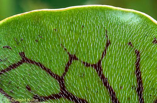 CA01-006b  Pitcher Plants - carnivorous, inside edge showing sharp spines - Sarracenia purpurea