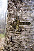 Old carving of an arrow in a birch tree along the Mount Tecumseh Trail in the White Mountains of New Hampshire.