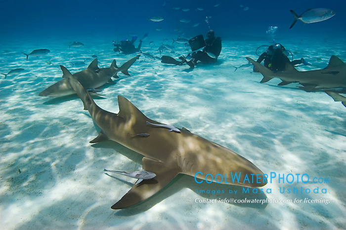 Lemon Sharks, Negaprion brevirostris, with sharksuckers, Echeneis naucrates, Blue Runner jacks, Caranx crysos, and scuba divers, West End, Grand Bahama, Bahamas, Atlantic Ocean.