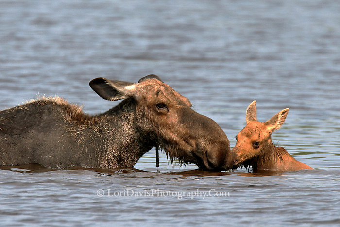#M9 Cow Moose with Calf in Pond