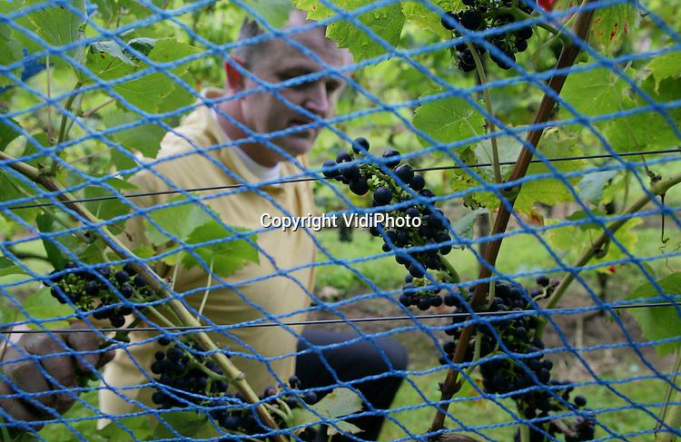 Foto: VidiPhoto..DODEWAARD - Om te voorkomen dat merels en spreeuwen zijn druiven opvreten, .plaatst eigenaar Inno Venhorst dinsdag een net over een deel van zijn wijngaard. De Dodewaardse wijngaard Villa Hehum langs de Waal is de enige Nederlandse wijngaard die in de uiterwaarden, dus buitendijks, ligt. Nederlandse wijngaarden hebben dit jaar veel last van coulore (misoogst) bij de blauwe druiven. Door het warme voorjaar is veel bloesem verdroogd en zitten er relatief veel kleine groene druifjes tussen. Om dat te compenseren worden de blauwe druiven dit jaar later geoogst, zodat de zon voor meer suiker (is minder zure smaak) kan zorgen.