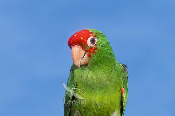 Red-Masked Conure (Aratinga erythrogenys).  Ecuador & Peru.