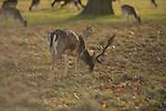 Fallow deer graze in Richmond Park, London England.
