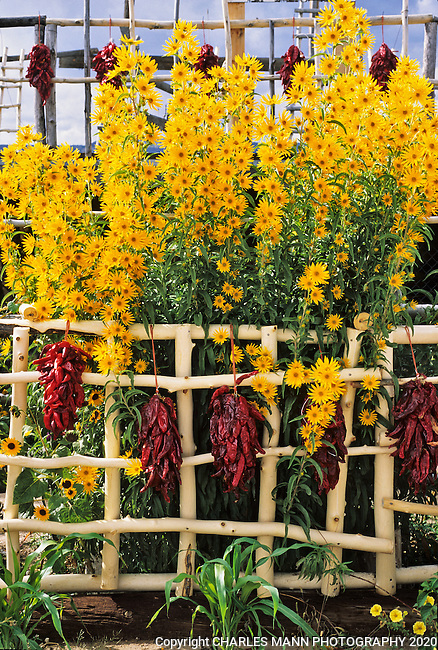 September brings the bright yellow flowers of Maximilian Sunflowers,Helinathus maxililiani, and bright red strings of chile  peppers, called ristras, to Northern New Mexico.