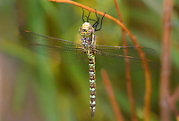 339570015 a wild female paddle-tailed darner aeshna palmata perches on a small branch along jean leblanc canal north of bishop inyo county california united states