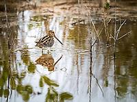 Wilson's Snipe standing in water in marsh in the rain with water droplet on tip of beak