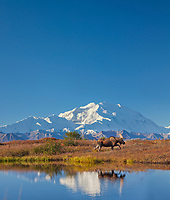 DIGITALLY ALTERED: (more sky added) Bull moose reflection in a small kettle pond with the summit of Denali in the distance, Denali National Park, Alaska.