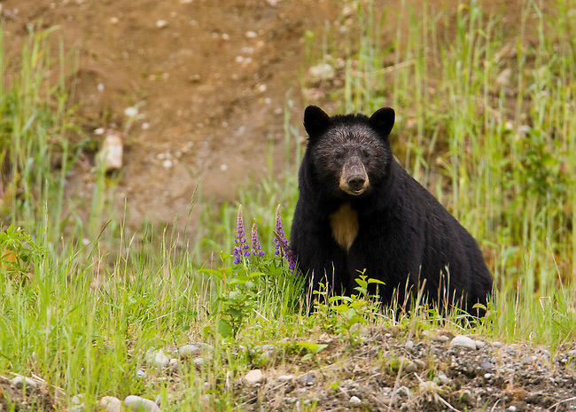 Large black bear with white face and white patch on chest, in the lupines  along the Sea-to-Sky Highway, British Columbia, Canada