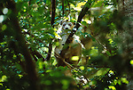 A crowned lemur peers through lush Madagascar canopy.  The best place to see these prosimians in the wild is in the island's Montagne d'Ambre National Park or Ankarana Special Reserve.