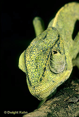 CH29-006z  African Chameleon - eyes rotate completely and independently of each other - Chameleo senegalensis