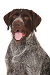 German Long Haired Pointer Dog, Head Study, Studio, White Background