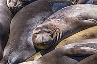 Elephant Seals at play along California's Pacific Ocean Coastline