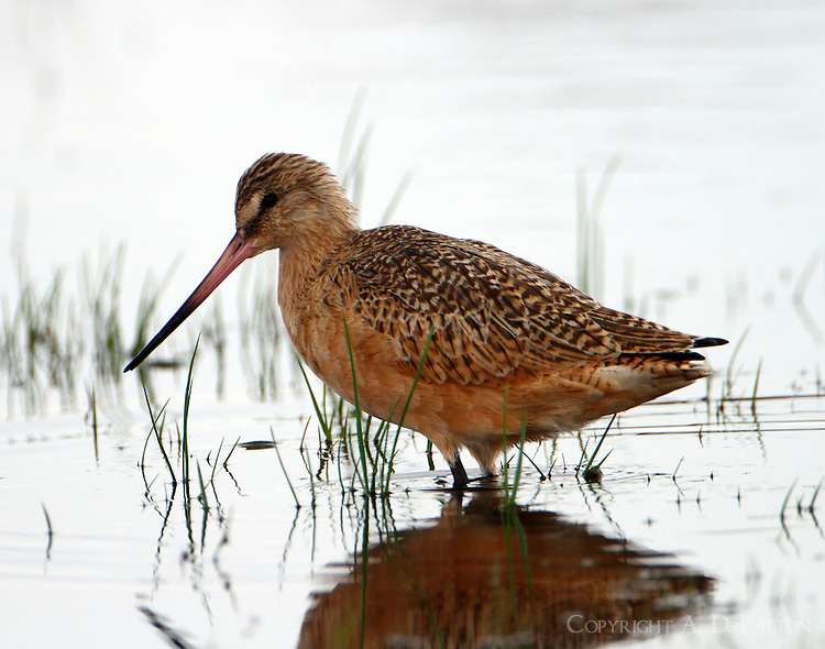 Marbled godwit in nonbreeding plumage