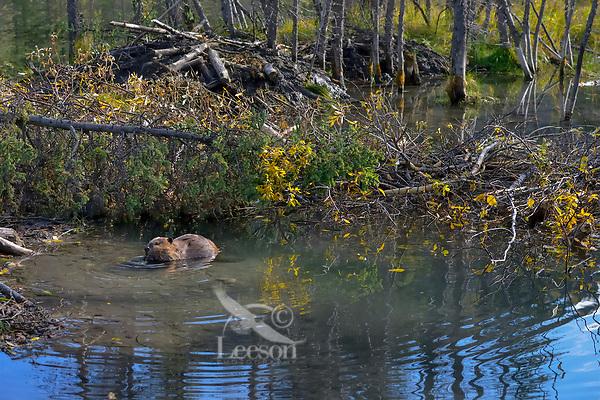 North American Beaver (Castor canadensis) feeding near winter food supply and lodge.  British Columbia, Canada.  Fall.