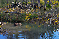 North American Beaver (Castor canadensis) feeding near winter food supply and lodge.  British Columbia, Canada.  Fall.