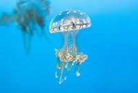 435550011 spotted jellyfish mastigias papua float and swim in their enclosure at the long beach aquarium in long beach california - species is native to the southwestern indo-pacific ocean especially the ocean around palau