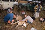 African Lion (Panthera leo) biologists, Milan Vinks, Jonah Gula, Caz Sanguinetti, and veterinarian, Kambwiri Banda, taking measurements during collaring of six year old female lion, Kafue National Park, Zambia
