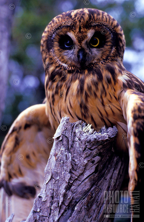 A front close-up of a Hawaiian owl, known as a Pueo, and sacred in Hawaiian culture as an aumakua. A native endangered species in Hawaii. (species: asio flammeus sandwichensis)