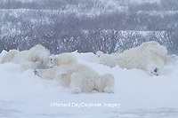 01874-13206 Polar Bears (Ursus maritimus) during snowstorm Churchill Wildlife Management Area, Churchill, MB