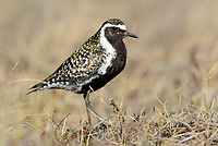 Male Pacific Golden-Plover (Pluvialis fulva) in breeding plumage. Yukon Delta National Wildlife Refuge, Alaska. June.