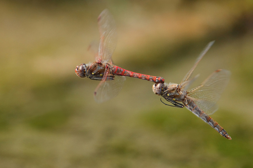 Variegated Meadowhawks in their last effort of the year to propagate the species, mid-November.
