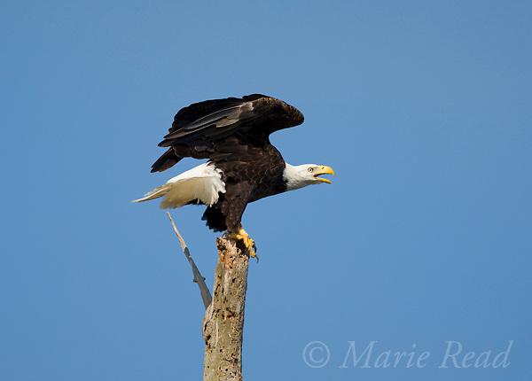 Bald Eagle (Haliaeetus leucocephalus) adult calling, about to take flight, Viera Wetlands, Florida, USA