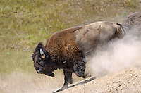 American bison (Bison bison) bull running after wallowing during summer mating season.