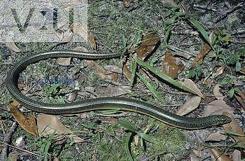 Eastern Glass Lizard (Ophisaurus ventralis), a legless lizard, Florida, USA.
