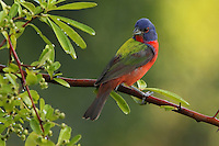 """Painted Bunting again, this time with very early light..<br /> """"Here Comes the Sun"""" doo doo doo doo, Here comes the sun, and I say, It's all right"""" :)"""
