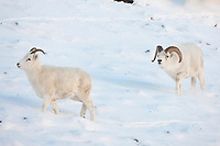 Dall sheep ram follows ewe in the winter snow during the rut in Atigun canyon, Brooks range mountains.