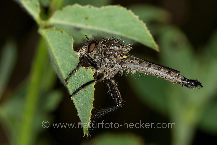 Berg-Raubfliege, Bergraubfliege, Raubfliege, Strauchdieb, Didysmachus picipes, robberfly, robber-fly, Raubfliegen, Mordfliegen, Asilidae, robberflies, robber flies