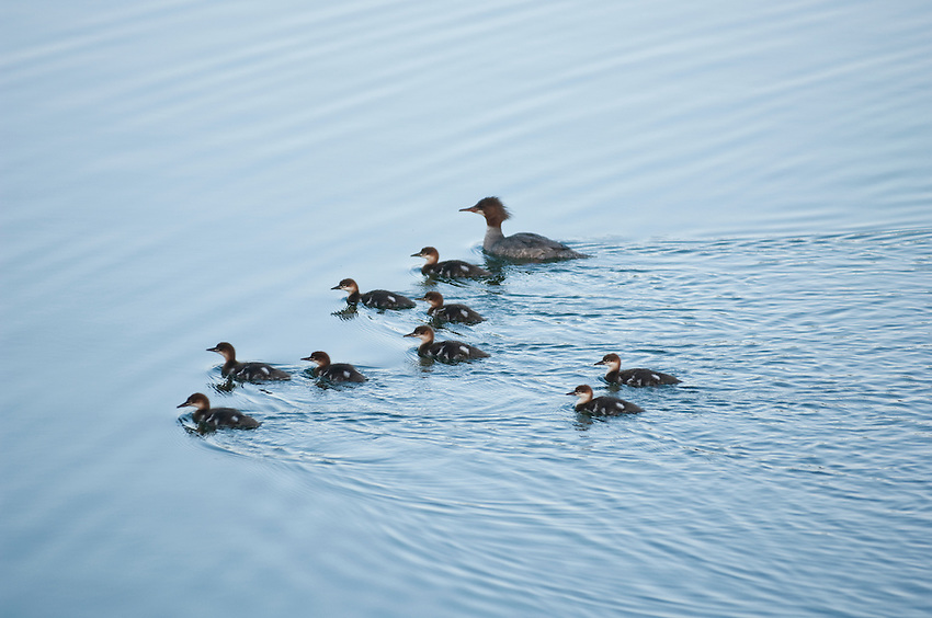 A family of mergansers swim on Lake Superior at Isle Royale National Park.