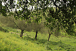 Israel, Mount Tabor Oak in Menashe Heights